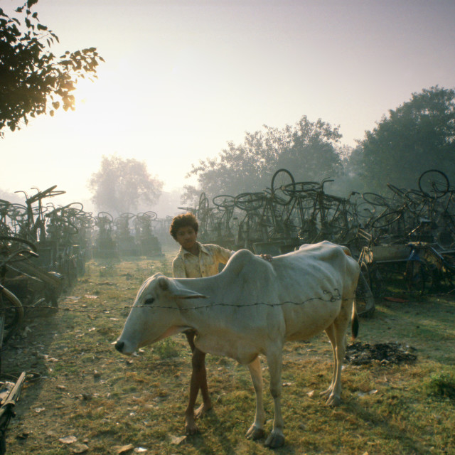 """""""A boy tends a cow in a store for rickshaws confiscated for non-payment of..."""" stock image"""