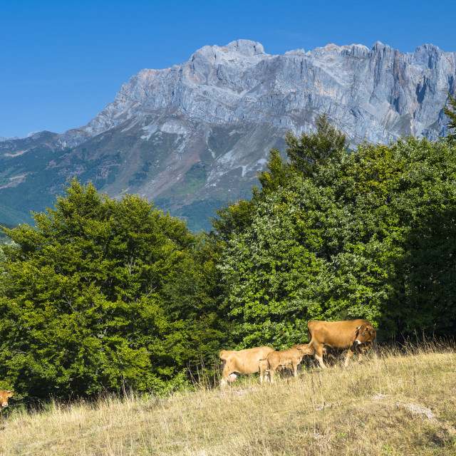 """Herd of cattle in meadow in the Picos de Europa mountains (Peaks of Europe),..."" stock image"