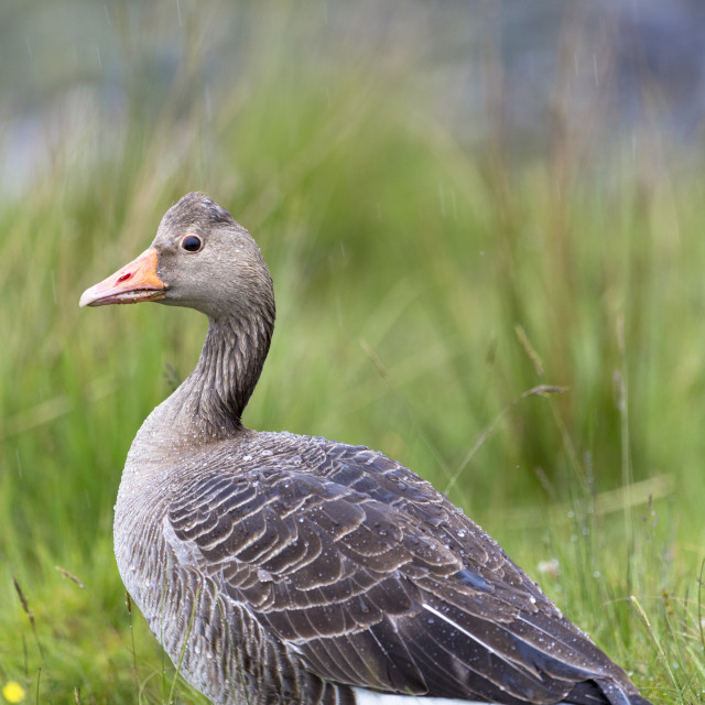 """""""Greylag goose, Anser anser, - Greylags - walking on Isle of Mull in the Inner..."""" stock image"""