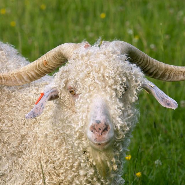 """Angora goat on North Island in New Zealand"" stock image"