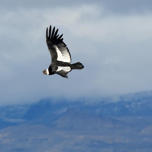 """Andean condor (Vultur gryphus) adult male, Santa Cruz, Patagonia, Argentina,..."" stock image"