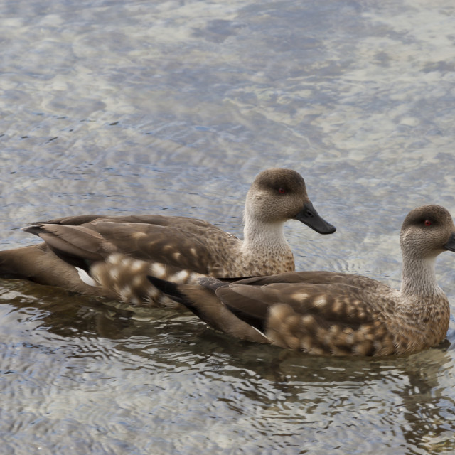 """Pair of Patagonian crested ducks (Lophonetta specularioides) in courtship..."" stock image"