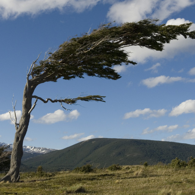 """Tree distorted by winds of the Roaring Forties, Harberton, Ushuaia, Beagle..."" stock image"