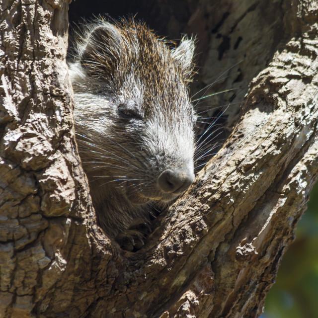"""""""Tree rat (Desmarest's Hutia), Cuba, West Indies, Caribbean, Central America"""" stock image"""