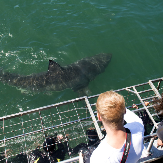 """Great white shark swims by cage, great white shark cage diving, Marine..."" stock image"