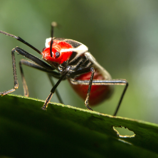 """Brilliantly coloured Hemipteran, known as the True bugs, family Lygaeidae,..."" stock image"