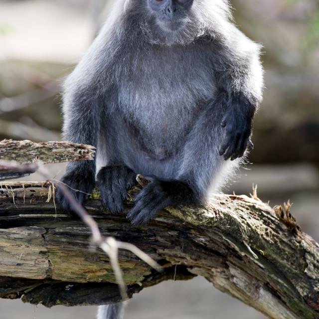 """Silvered leaf monkey (Trachypithecus cristatus cristatus), Bako National..."" stock image"