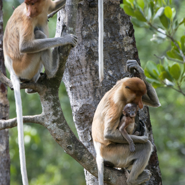 """Adult female proboscis monkey (Nasalis larvatus) with new born baby with a..."" stock image"