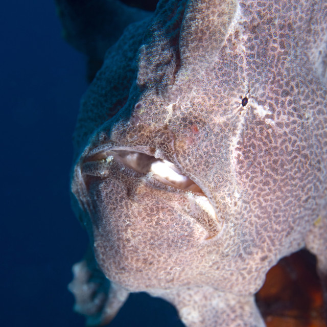 """Giant Frogfish (Antennarius commersonii) can grow to 30 cm and is commonly..."" stock image"