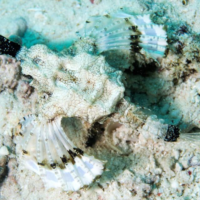 """Short dragonfish (sea moth) (Dragon sea moth) (Europegasus draconis), Celebes..."" stock image"