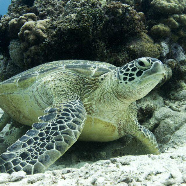 """Green sea turtles (Chelonia mydas) common around Pom Pom Island, an important..."" stock image"