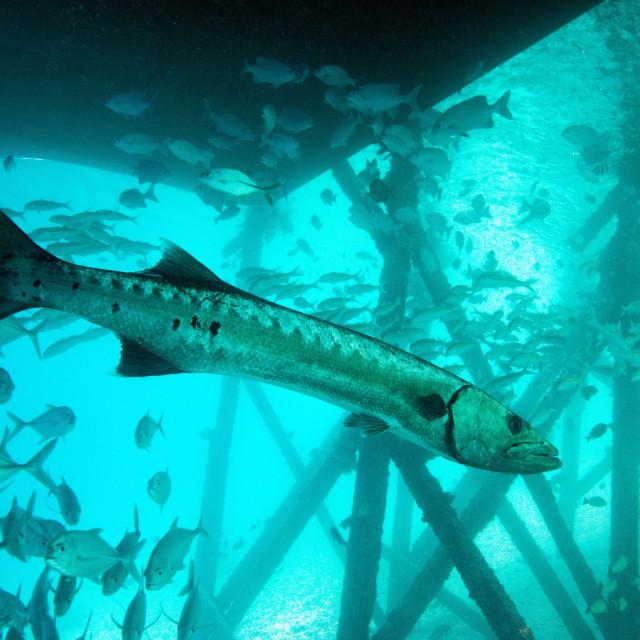 """Great barracuda (Sphyraena barracuda) (giant barracuda) can grow up to 1.8..."" stock image"