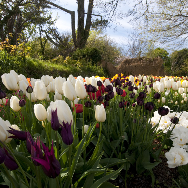 """""""Tulip display in spring in The Lost Gardens of Heligan near Mevagissey, South..."""" stock image"""