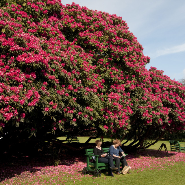 """""""Huge rhododendron tree in flower in spring in The Lost Gardens of Heligan..."""" stock image"""