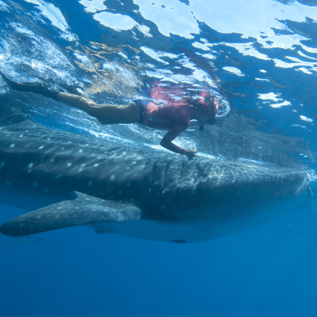 """""""Snorkeller and whale shark (Rhincodon typus) feeding at the surface on..."""" stock image"""