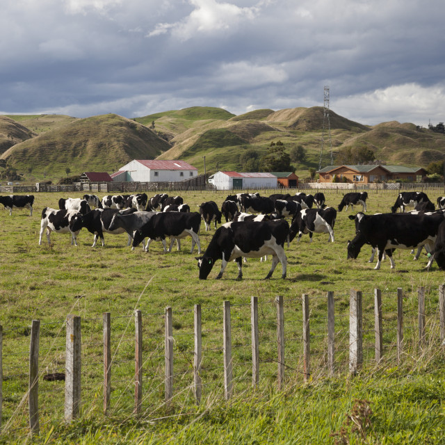 """Friesian dairy cows, Turakina Valley near Whanganui, New Zealand, Pacific"" stock image"