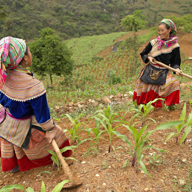 """Flower Hmong ethnic woman working in the fields, Bac Ha area, Vietnam,..."" stock image"