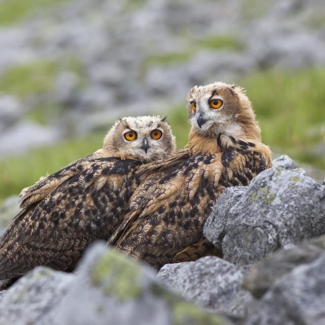 """European eagle owl chicks (Bubo bubo), captive, United Kingdom, Europe"" stock image"