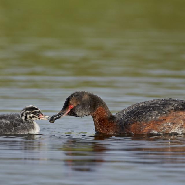 """""""Horned grebe (Podiceps auritus) female feeding a chick, Lake Myvatn, Iceland,..."""" stock image"""