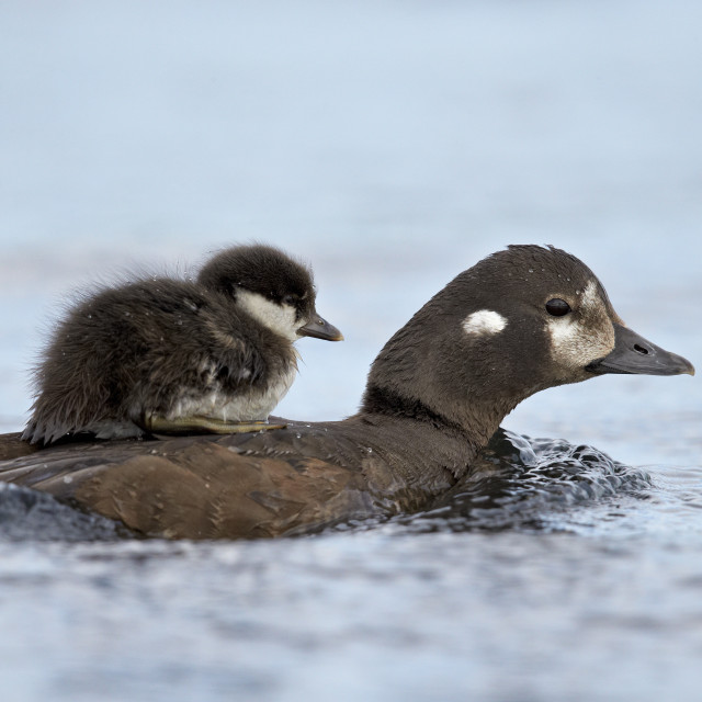"""""""Harlequin duck (Histrionicus histrionicus) duckling riding on its mother's..."""" stock image"""
