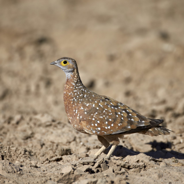 """Male Burchell's sandgrouse (Pterocles burchelli), Kgalagadi Transfrontier..."" stock image"