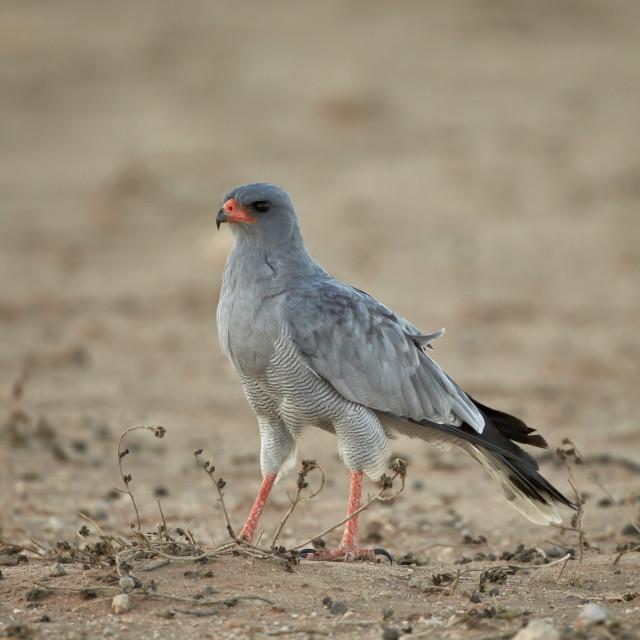"""Southern pale chanting goshawk (Melierax canorus), Kgalagadi Transfrontier..."" stock image"
