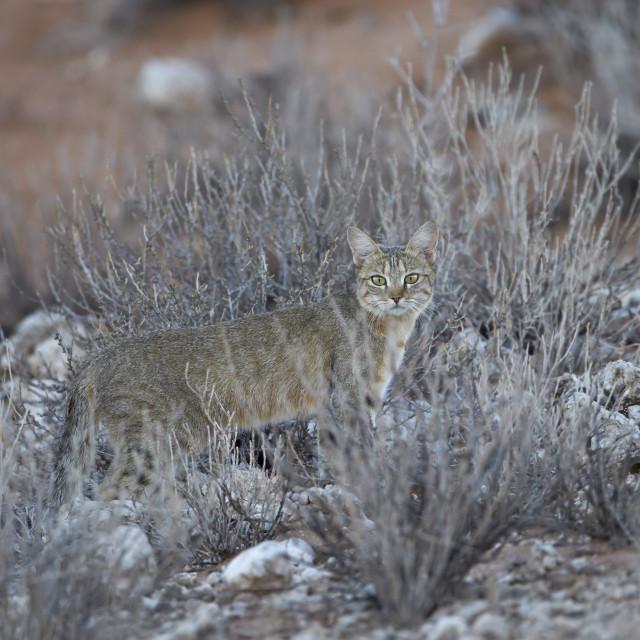 """African wild cat (Felis silvestris lybica), Kgalagadi Transfrontier Park,..."" stock image"