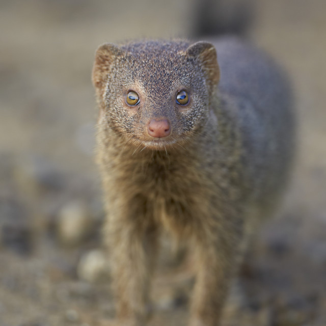 """""""Slender mongoose (Galerella sanguinea), Imfolozi Game Reserve, South Africa,..."""" stock image"""