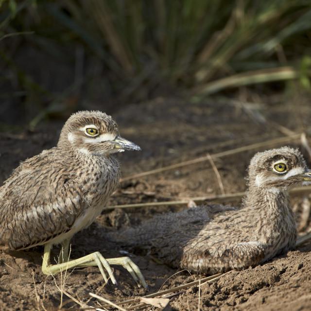 """""""Two water thickknee (water dikkop) (Burhinus vermiculatus) chicks, Hluhluwe..."""" stock image"""