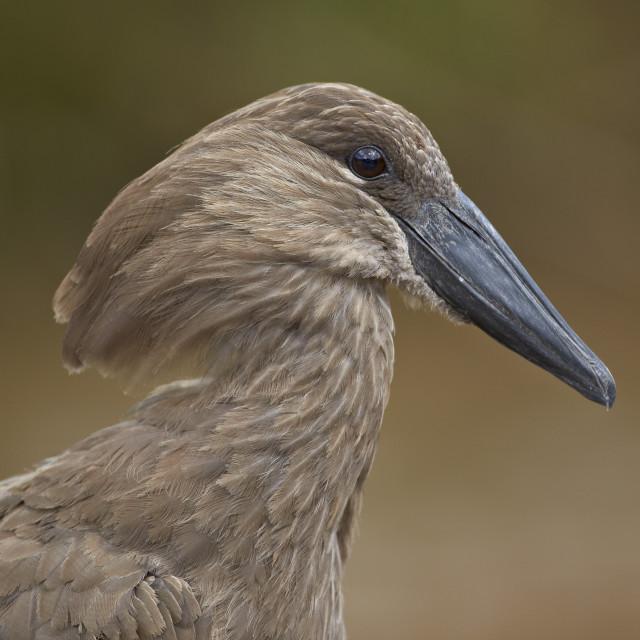 """Hamerkop (Scopus umbretta), Hluhluwe Game Reserve, South Africa, Africa"" stock image"