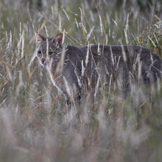 """""""African Wild Cat (Felis silvestris lybica), Kruger National Park, South..."""" stock image"""