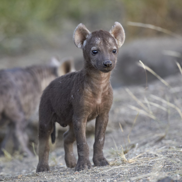 """Spotted Hyena (Spotted Hyaena) (Crocuta crocuta) pup, Kruger National Park,..."" stock image"