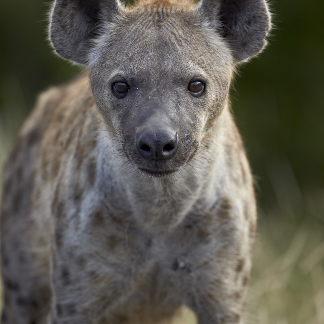 """""""Young Spotted Hyena (Spotted Hyaena) (Crocuta crocuta), Kruger National Park,..."""" stock image"""