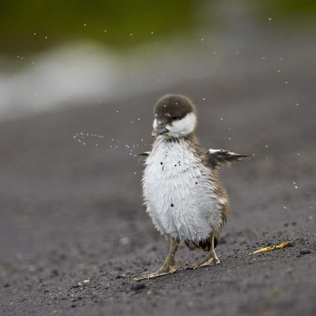 """""""Harlequin duck (Histrionicus histrionicus) duckling drying off, Lake Myvatn,..."""" stock image"""