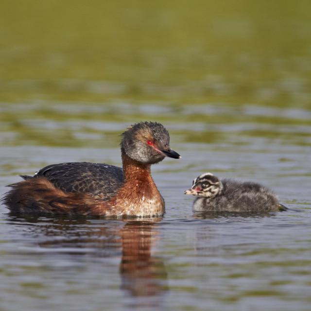"""""""Horned Grebe (Podiceps auritus) female and chick, Lake Myvatn, Iceland, Polar..."""" stock image"""