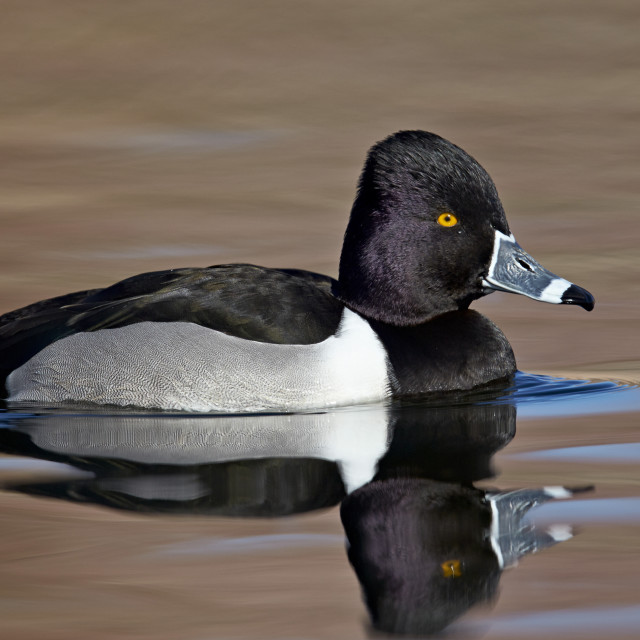 """Ring-Necked Duck (Aythya collaris) swimming, Clark County, Nevada, USA"" stock image"