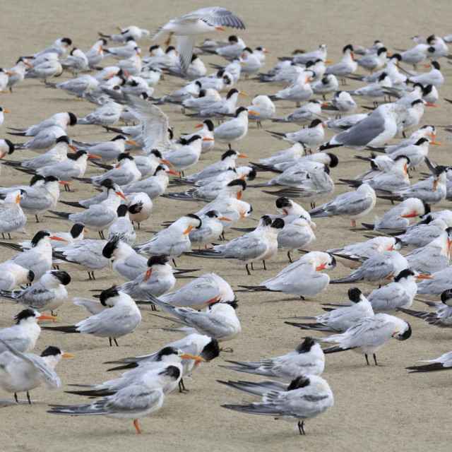 """Terns on Capitola Beach, Capitola City, Santa Cruz County, California, United..."" stock image"
