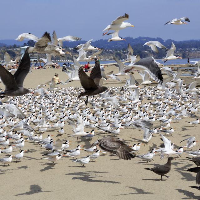 """Terns and seagulls on Capitola Beach, Capitola City, Santa Cruz County,..."" stock image"