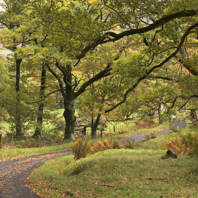 """""""Winding country lane through trees, Newlands Valley, Lake District, England,..."""" stock image"""