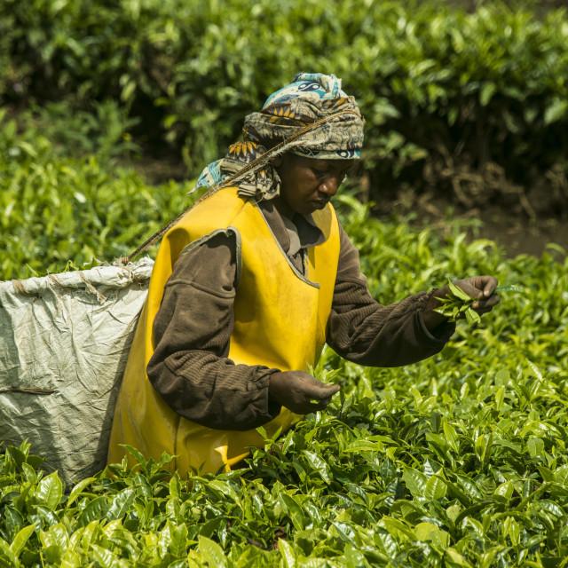 """Tea plantation in the Virunga mountains, Rwanda, Africa"" stock image"