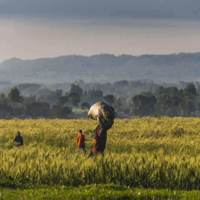 """Men walking through a wheat field in the Virunga National Park, Rwanda, Africa"" stock image"