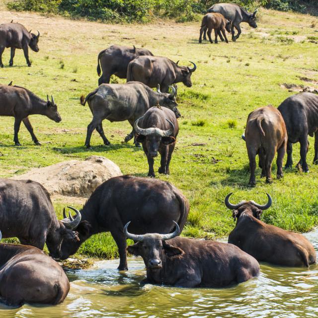 """African buffalos (Cape buffalo) (Syncerus caffer), Queen Elizabeth National..."" stock image"
