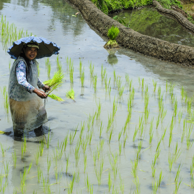 """Woman planting in the rice terraces of Banaue, UNESCO World Heritage Site,..."" stock image"