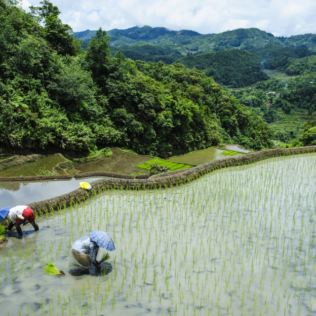 """People harvesting in the rice terraces of Banaue, UNESCO World Heritage Site,..."" stock image"