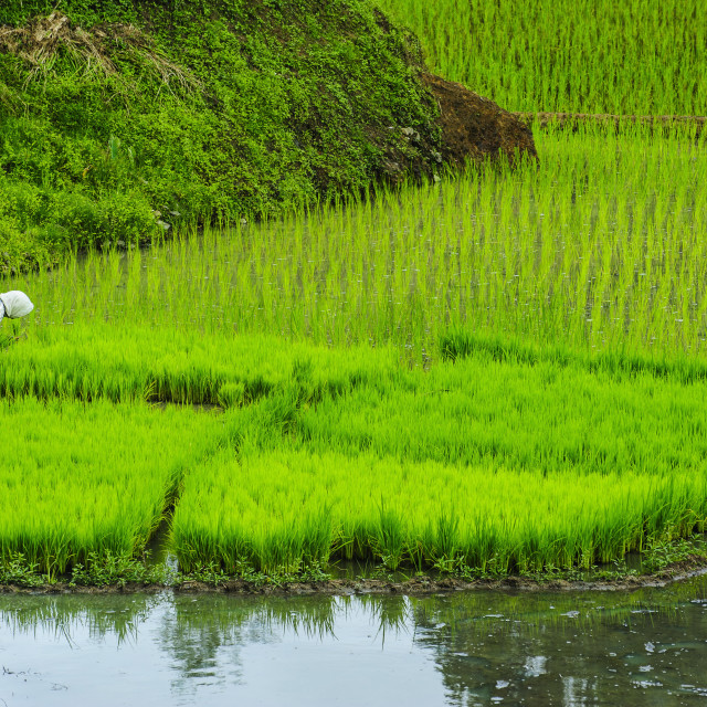 """People harvesting in the rice teraces of Banaue, UNESCO World Heritage Site,..."" stock image"