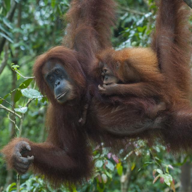 """Mother and baby Sumatran orangutan (Pongo abelii) swinging through the..."" stock image"