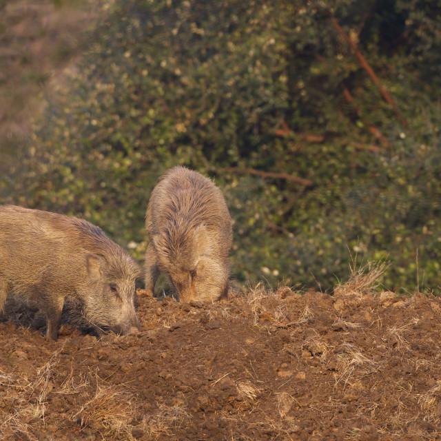 """Indian Wild Boar (Sus scrofa cristatus), Ranthambore National Park,..."" stock image"