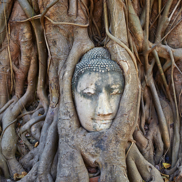 """""""Stone Buddha head entwined in the roots of a fig tree, Wat Mahatat, Ayutthaya..."""" stock image"""