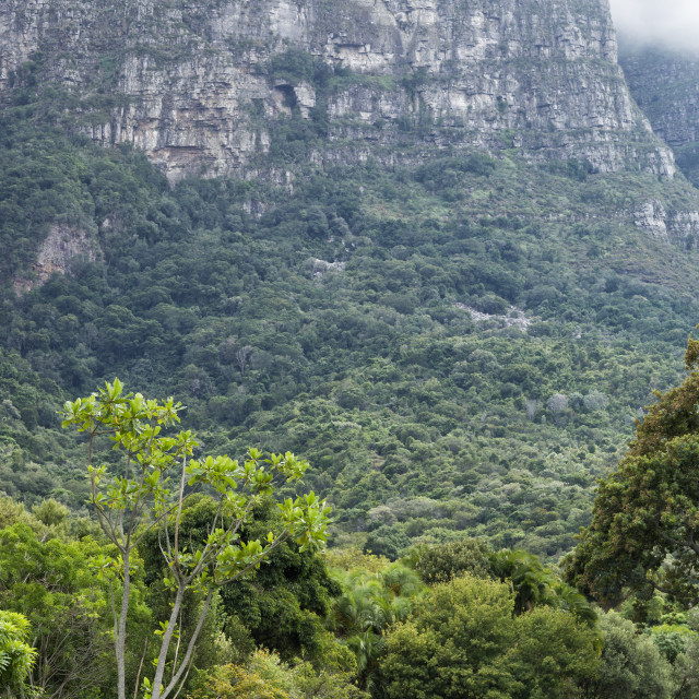 """""""Table Mountain looms behind a couple walking on a path through Kirstenbosch..."""" stock image"""