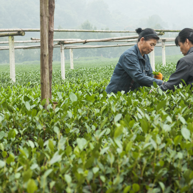 """Two Asian women work together plucking tea leaves at the Dragon Well Tea..."" stock image"